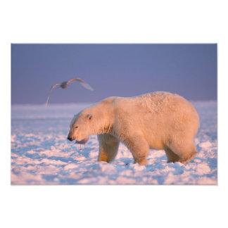 oso polar, maritimus del Ursus, en el hielo y la n Impresión Fotográfica