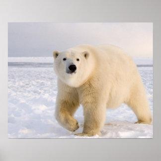 oso polar, maritimus del Ursus, en el hielo y la n Póster