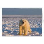 oso polar, maritimus del Ursus, en el hielo y la n Tarjetón