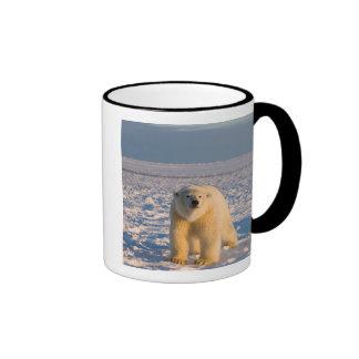 oso polar, maritimus del Ursus, en el hielo y la n Taza