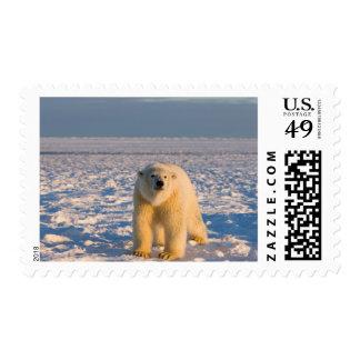 oso polar, maritimus del Ursus, en el hielo y la Franqueo