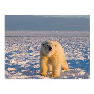oso polar, maritimus del Ursus, en el hielo y la Postal