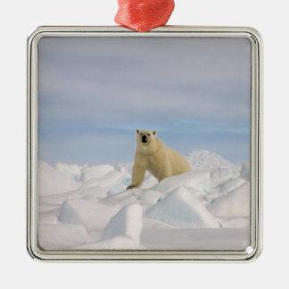 oso polar maritimus del Ursus en hielo áspero en Ornamentos De Reyes