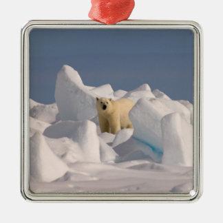 oso polar maritimus del Ursus en hielo áspero en Adorno