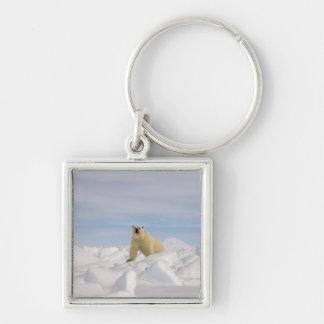 oso polar, maritimus del Ursus, en hielo áspero en Llavero Cuadrado Plateado