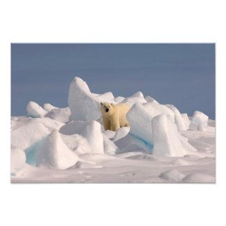 oso polar, maritimus del Ursus, en hielo áspero en Fotografia