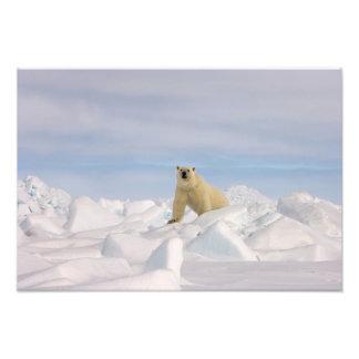 oso polar, maritimus del Ursus, en hielo áspero en Impresion Fotografica