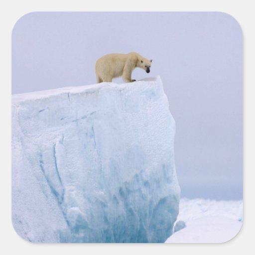 oso polar, maritimus del Ursus, en un gigante Calcomanía Cuadrada