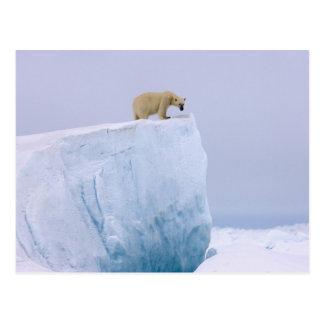 oso polar, maritimus del Ursus, en un gigante Postal
