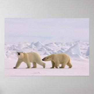 oso polar, maritimus del Ursus, par en hielo ásper Póster