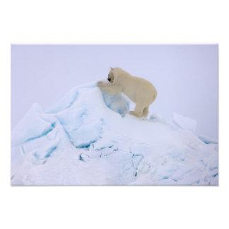 oso polar, maritimus del Ursus, subiendo para arri Fotos