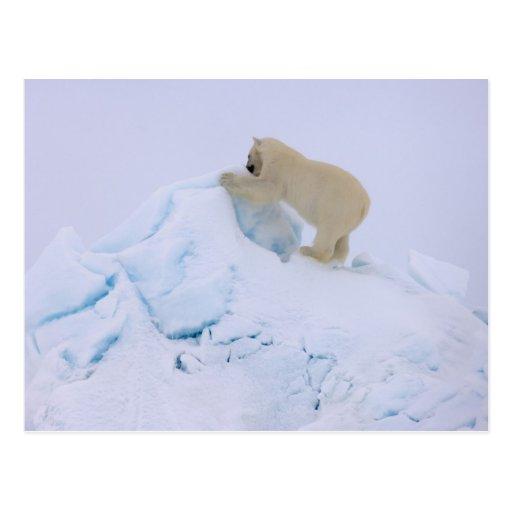 oso polar, maritimus del Ursus, subiendo para arri Postales