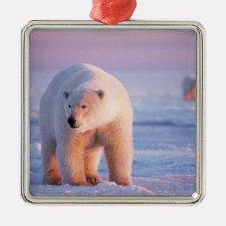 oso polar maritimus del Ursus verraco grande en Adorno Para Reyes