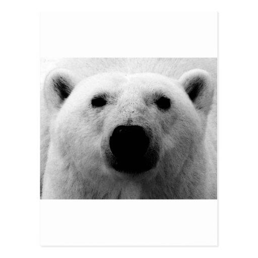 Oso polar negro y blanco postales