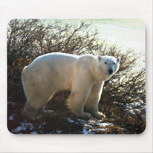 Oso polar por el sauce de la tundra alfombrilla de ratones