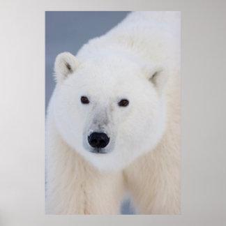 Oso polar póster
