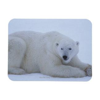 Oso polar que descansa en nieve iman rectangular