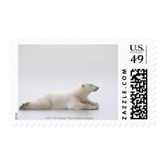 Oso polar que pone en un lago del hielo sello