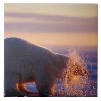 Oso polar que saca de su cabeza un agujero en azulejo cuadrado grande