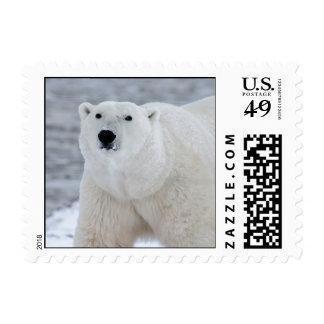 Oso polar sellos