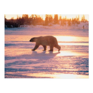 Oso polar solitario tarjeta postal