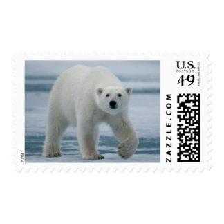 Oso polar, Ursus Maritimus, adulto Sello