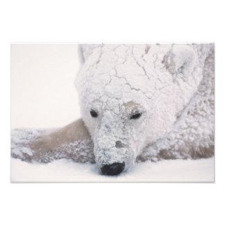 Oso polar, Urus Maritimus, ártico, Churchill, Cojinete