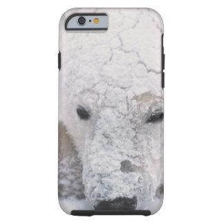 Oso polar, Urus Maritimus, ártico, Churchill, Funda Para iPhone 6 Tough