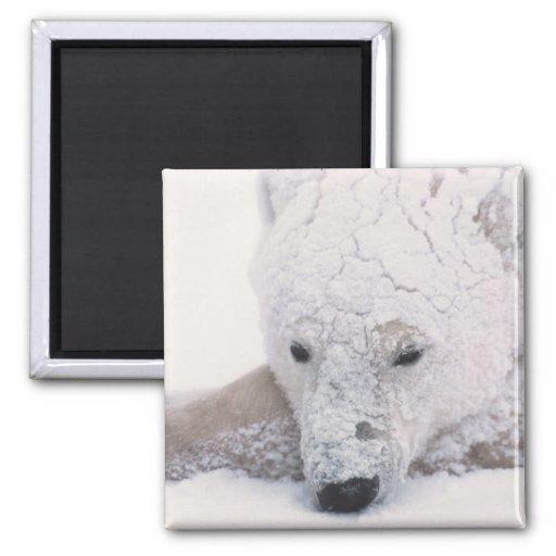 Oso polar, Urus Maritimus, ártico, Churchill, Imán Cuadrado