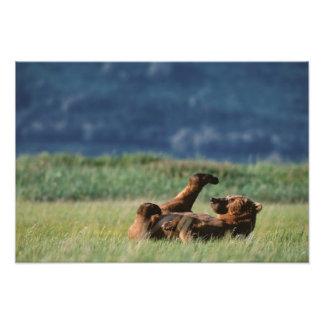 Osos de Brown en el juego, arctos del Ursus, Alask Impresiones Fotograficas