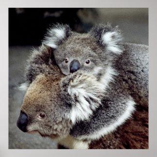 Osos de koala poster