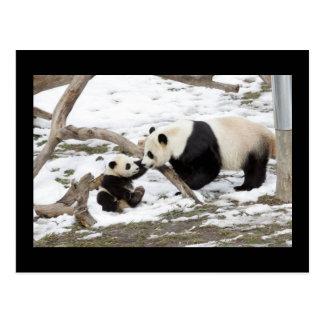 Osos de panda tarjeta postal