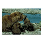 Osos grizzly impresiones