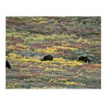Osos grizzly, parque nacional de Denali, Alaska la Tarjetas Postales