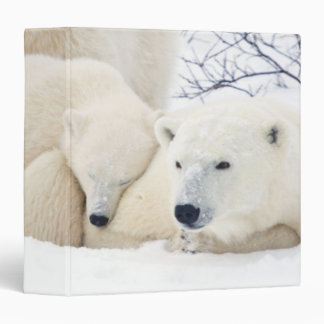 Osos polares femeninos y dos cachorros 3