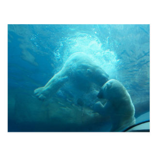 Osos polares juguetones postal