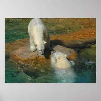 Osos polares que juegan en agua póster