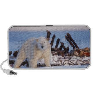 Osos polares que limpian en los huesos de la balle altavoz de viaje
