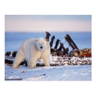 Osos polares que limpian en los huesos de la postal