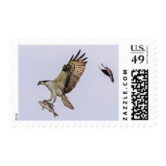 Osprey being chased by a red winged blackbird postage