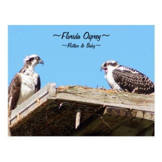 Osprey bird family in nest Postcard