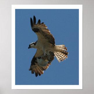Osprey Bird & Halibut Fish Print