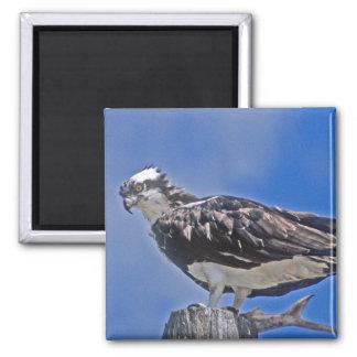 Osprey Bird Magnet