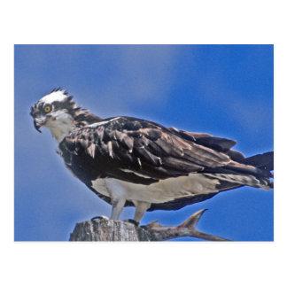 Osprey Bird Post Cards