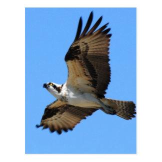 Osprey Bird Postcard