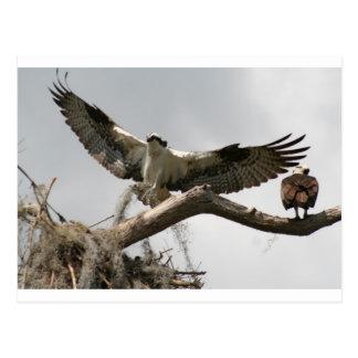 Osprey building a nest. postcard
