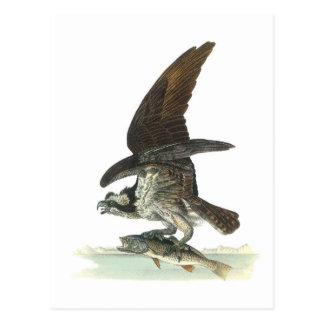 Osprey by Audubon Postcard