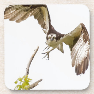 Osprey Coming At You Beverage Coaster
