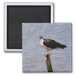 Osprey con el imán de los pescados