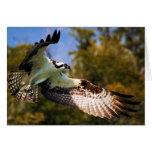 Osprey en vuelo tarjetas